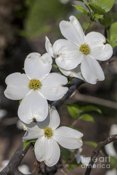 Photograph - Eastern Dogwood by Ronald Lutz