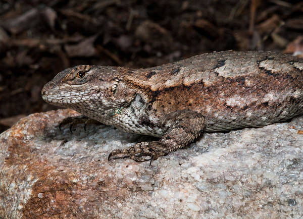 Photograph - Eastern Fence Lizard 2 by Lara Ellis