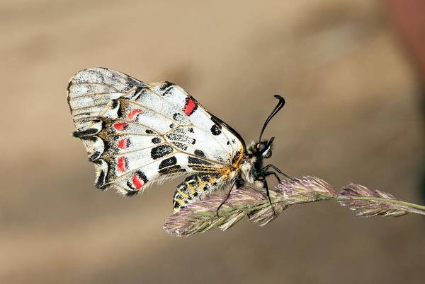Eastern Europe Wall Art - Photograph - Eastern Festoon Butterfly by Bob Gibbons