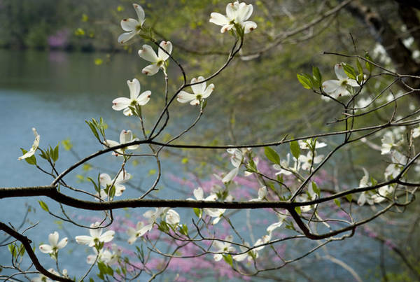 Wall Art - Photograph - Eastern Flowering Dogwood by Kenneth Murray