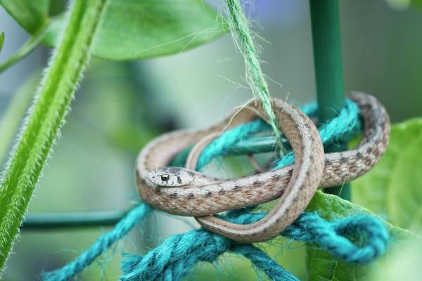 Wall Art - Photograph - Eastern Garter Snake On Garden Twine by Maria Mosolova/science Photo Library