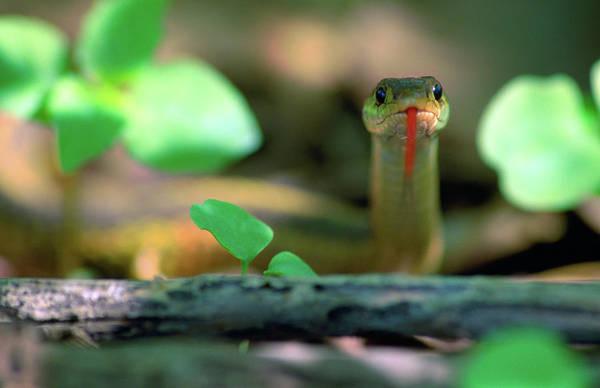 Garter Photograph - Eastern Garter Snake Thamnophis by Animal Images