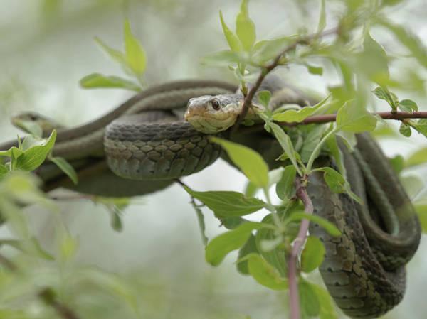 Garter Photograph - Eastern Garter Snakes Mating, Ottawa by Maresa Pryor