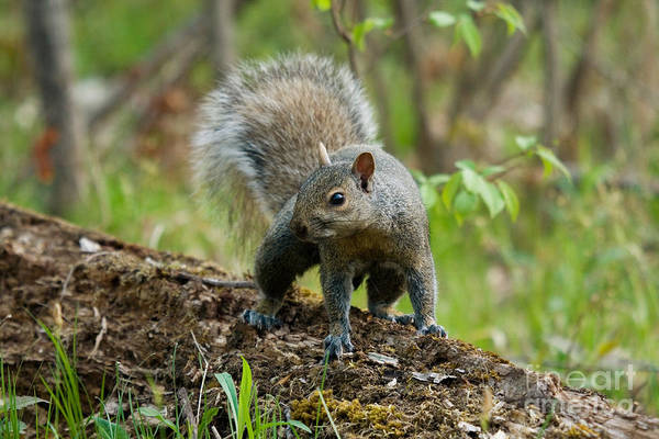 Photograph - Eastern Gray Squirrel by Linda Freshwaters Arndt