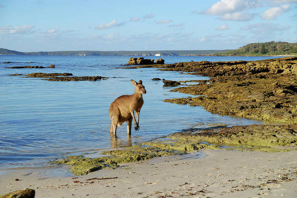 Wading Photograph - Eastern Grey Kangaroo by Auscape/uig