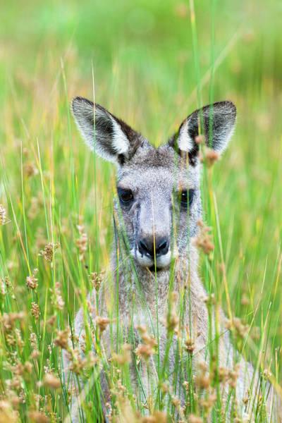 Wall Art - Photograph - Eastern Grey Kangaroo (macropus by Martin Zwick