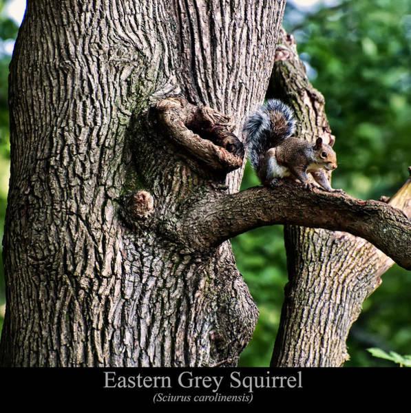 Digital Art - Eastern Grey Squirrel by Chris Flees