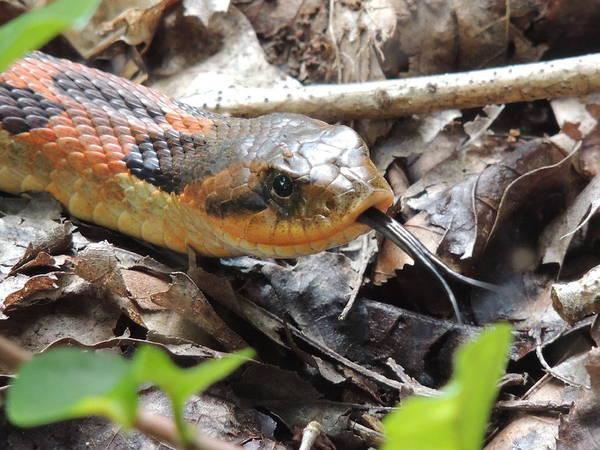 Eastern Hognose Snake Photograph - Eastern Hognose Snake by Jamie K Reaser