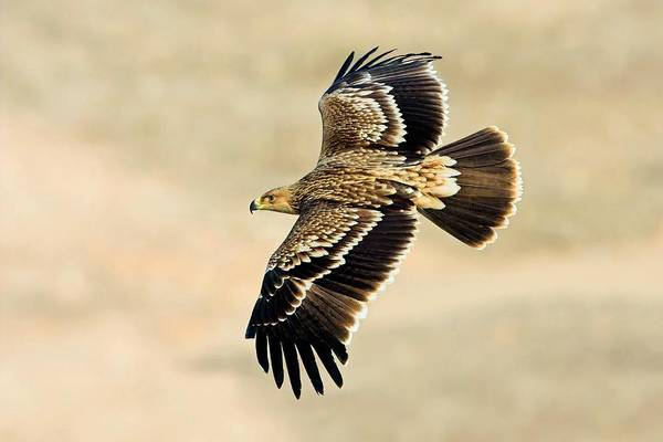 Eagle In Flight Photograph - Eastern Imperial Eagle In Flight by Bildagentur-online/mcphoto-schaef/science Photo Library