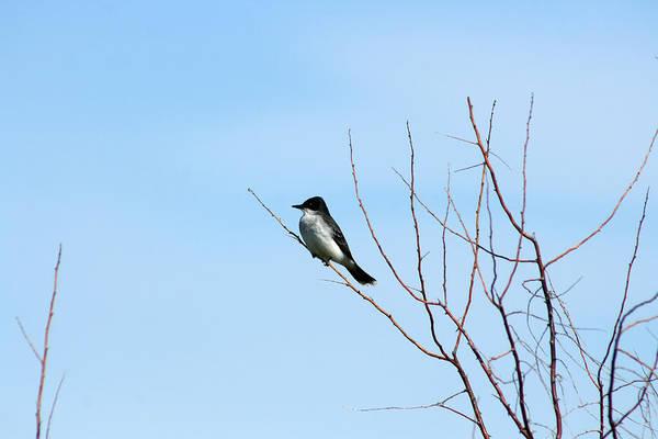 Wall Art - Photograph - Eastern Kingbird In A Tree by Robert Hamm