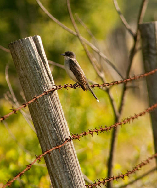 Photograph - Eastern Kingbird by Kristia Adams