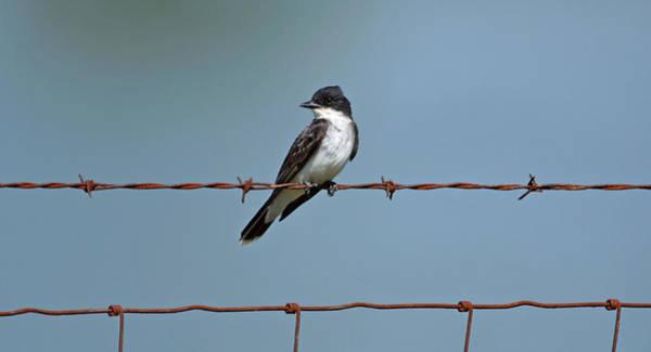 Photograph - Eastern Kingbird On Wire by Sandy Keeton