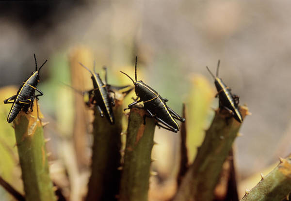 Gainesville Photograph - Eastern Lubber Grasshopper Nymphs by Sally Mccrae Kuyper/science Photo Library