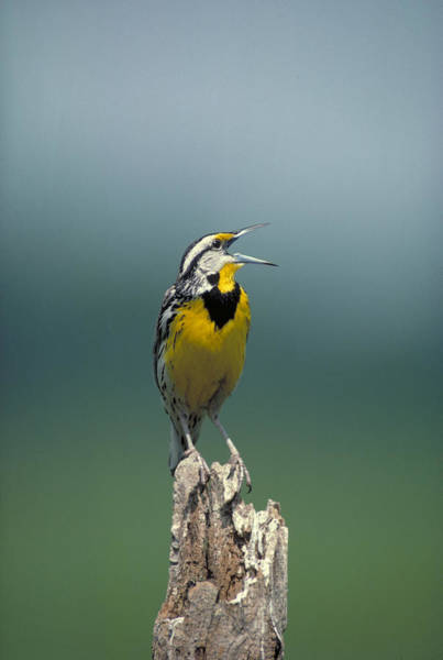 Tweets Photograph - Eastern Meadowlark by G Ronald Austing