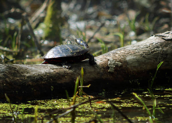 Photograph - Eastern Painted Turtle by Rebecca Sherman