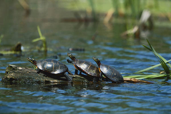 Painted Turtle Photograph - Eastern Painted Turtles by Paul J. Fusco