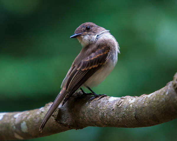 Photograph - Eastern Phoebe by Robert L Jackson