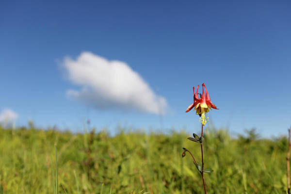 Wall Art - Photograph - Eastern Red Columbine by Paul E Tessier