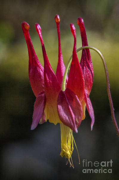 Photograph - Eastern Red Columbine by Ronald Lutz