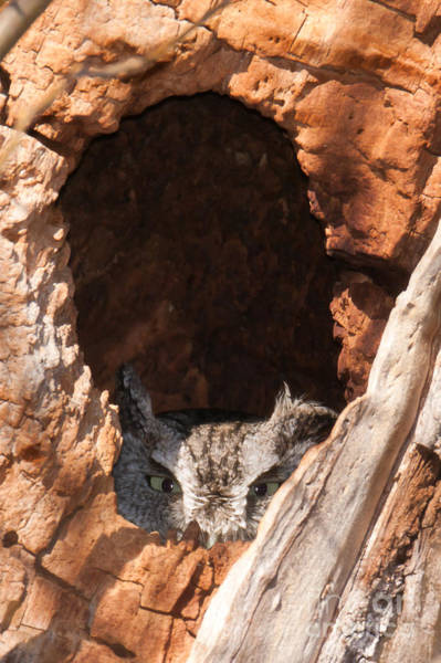 Photograph - Eastern Screech-owl II by Clarence Holmes