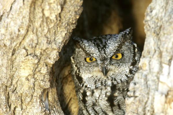 Wall Art - Photograph - Eastern Screech Owl by Jeffrey Lepore