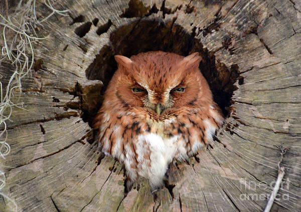 Screech Owl Photograph - Eastern Screech Owl by Kathy Baccari