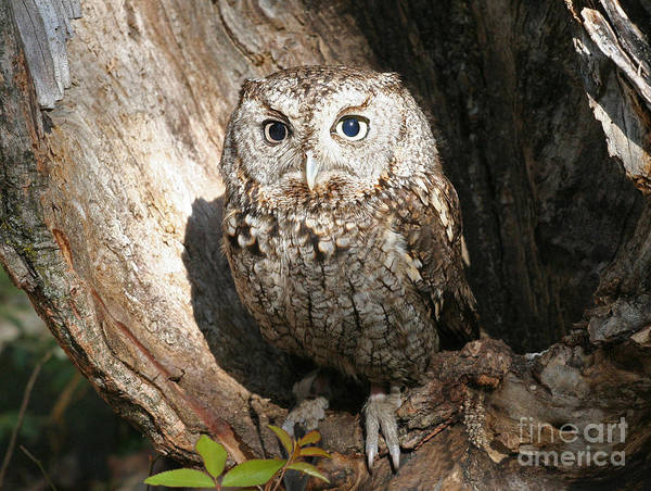 Photograph - Eastern Screech Owl  by Kevin McCarthy