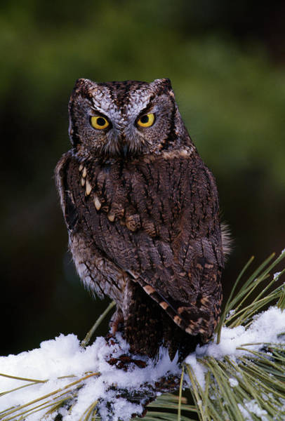 Screech Owl Photograph - Eastern Screech Owl On Pine Tree by Animal Images