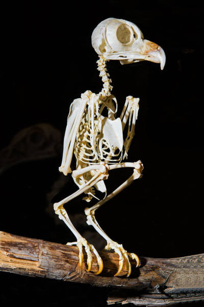 Wall Art - Photograph - Eastern Screech Owl Skeleton by Millard H. Sharp