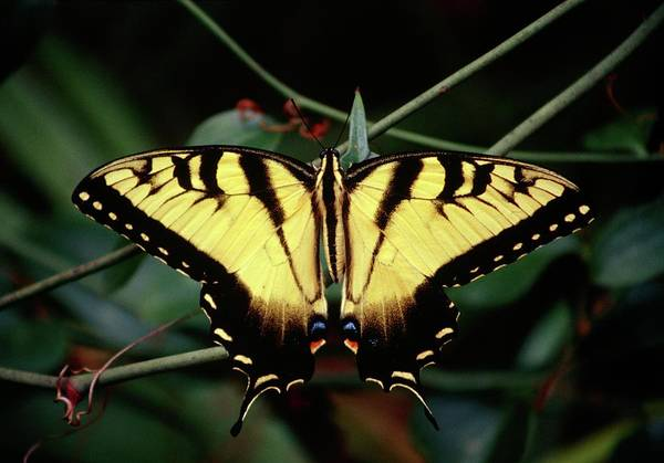 Donald Photograph - Eastern Swallowtail Butterfly by Donald R Wright/science Photo Library