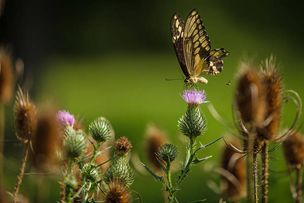 Photograph - Eastern Swallowtail Butterfly II by Keith Allen
