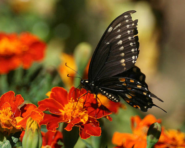 Photograph - Eastern Swallowtail On Marigold by William Selander