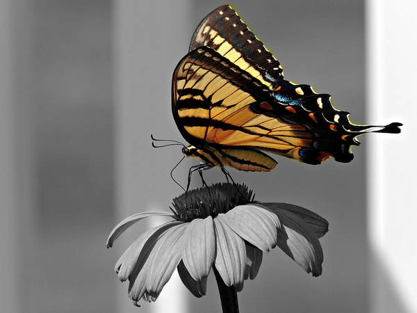 Photograph - Eastern Tiger Swallowtail Butterfly Black And White Selective Color by Kimberly Perry