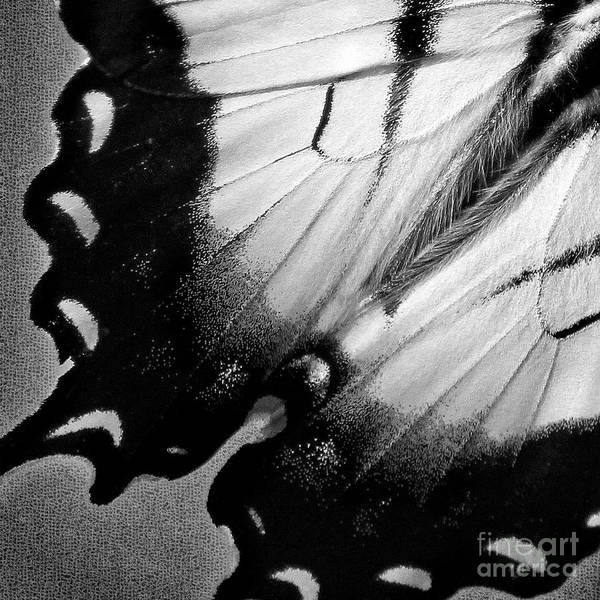 Photograph - Eastern Tiger Swallowtail Butterfly Wing Black White Square by Karen Adams