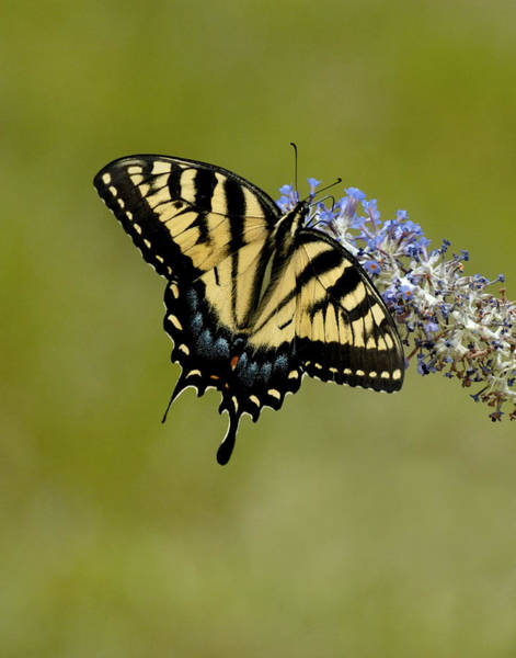 Photograph - Eastern Tiger Swallowtail On Butterfly Bush by Lara Ellis