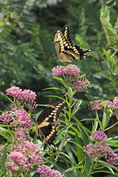 Photograph - Eastern Tiger Swallowtails by Theo O Connor