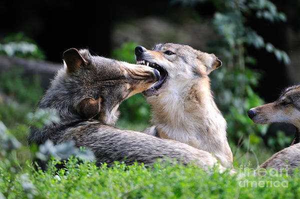 Timberwolves Photograph - Eastern Timber Wolves by Reiner Bernhardt