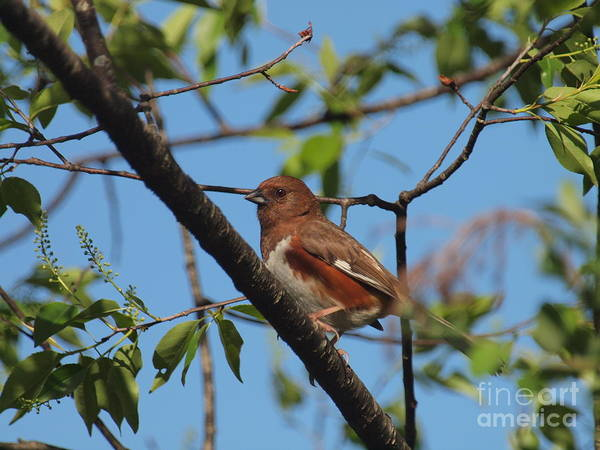 Wall Art - Photograph - Eastern Towhee by Frank Piercy