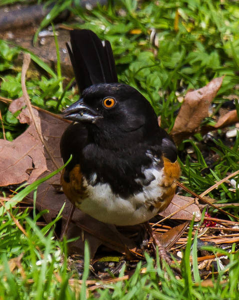 Photograph - Eastern Towhee - Male by Robert L Jackson