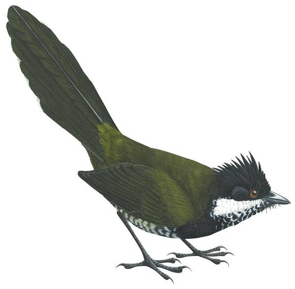 Full Length Drawing - Eastern Whipbird by Anonymous