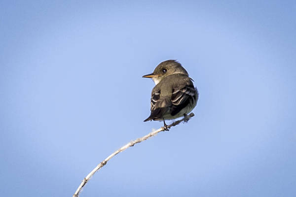 Photograph - Eastern Wood Pewee by Jack R Perry