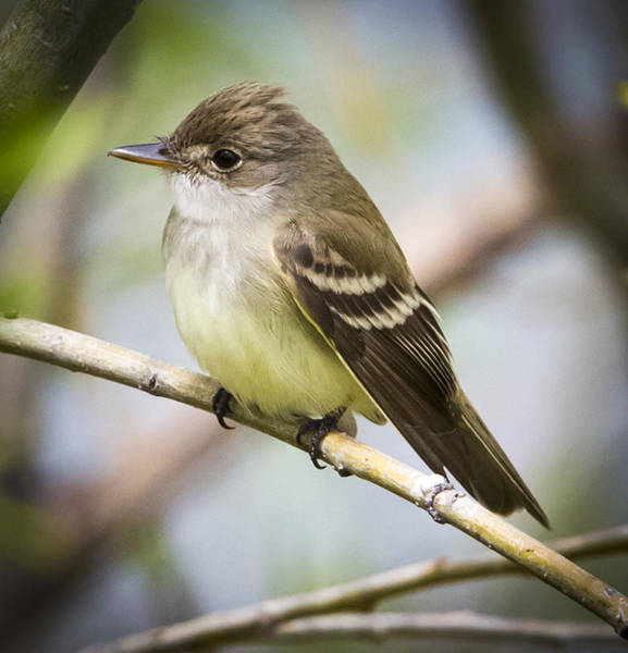 Photograph - Eastern Wood-pewee by Ricky L Jones