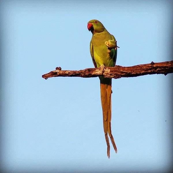 Green Wall Art - Photograph - Parakeet Eating Fruit  by Hitendra SINKAR