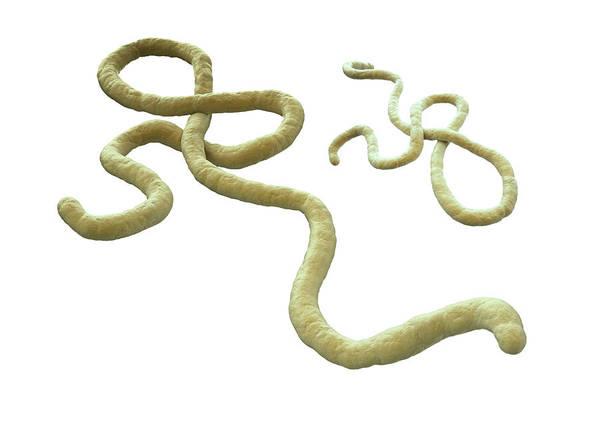 Pathogen Wall Art - Photograph - Ebola Virus by Andrzej Wojcicki