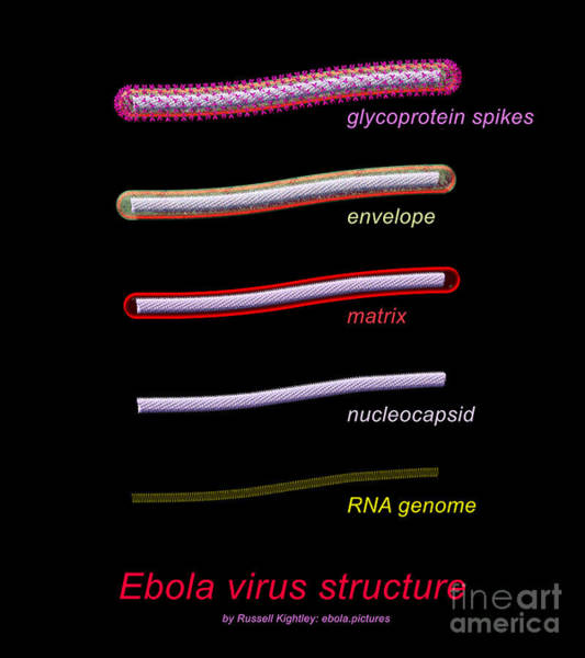 Digital Art - Ebola Virus Structure #1 Annotated by Russell Kightley