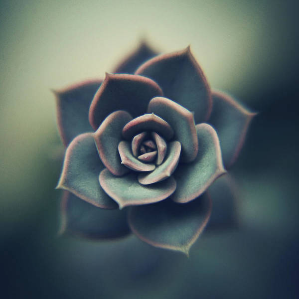 Flower Head Photograph - Echeveria Macro by Con Ryan
