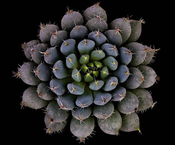 Abstract Flower Photograph - Echeveria Setosa Var. Deminuta by Victor Mozqueda