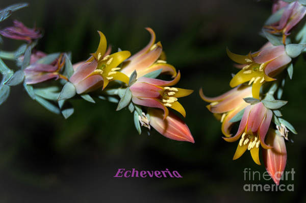 Wall Art - Photograph - Echeveria by The Stone Age