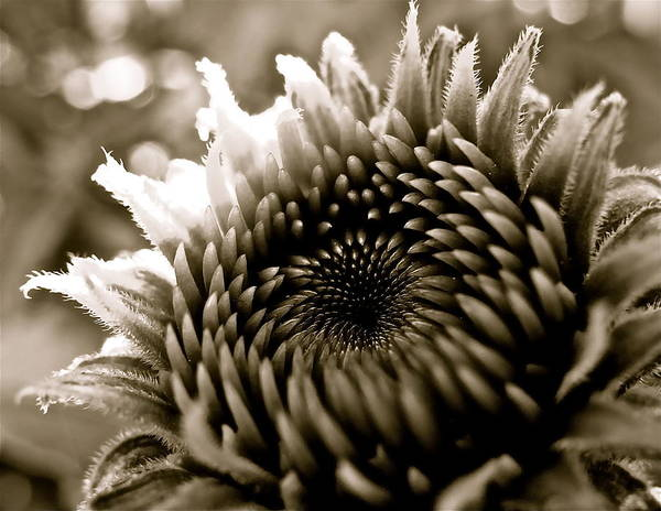 Photograph - Echinacea I by Kim Pippinger