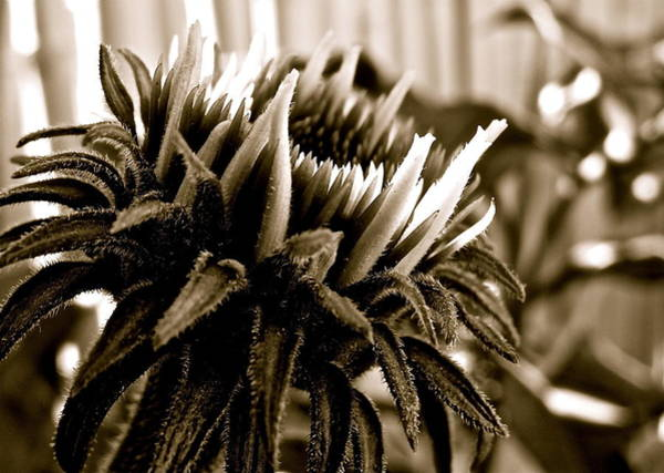 Photograph - Echinacea II by Kim Pippinger